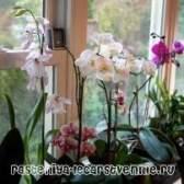 Умови, вирощування орхідеї в домашніх умовах