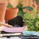 Вирощування троянди в домашніх умовах, догляд