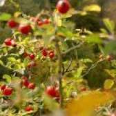 Вирощування шипшини з насіння