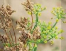 Аніс: про вирощування з насіння, користь і шкоду
