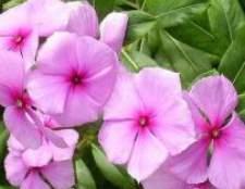 Барвінок рожевий, догляд і вирощування квітки
