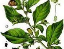 Беладонна трава - властивості, застосування, протипоказання