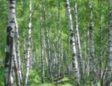 Береза   - російське дерево життя