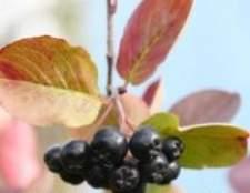 Черноплодка - корисні властивості і протипоказання