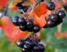 Чорноплідна горобина - лікувальні властивості