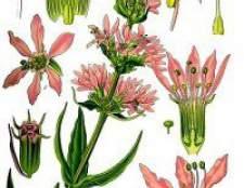 Квітка дербенник іволістний - фото, опис
