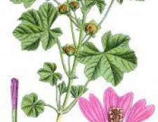 Квітка проскурник - мальва, властивості, лікування, застосування