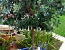Фейхоа: вирощування в домашніх умовах, умови для вирощування