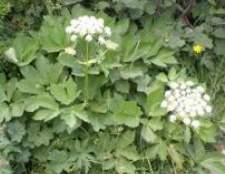 Горічник настурціевий має запах селери - як приклад трави від зубного болю, для загоєння ран