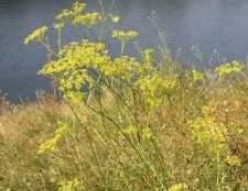 Горічник російський - рослина адамове ребро