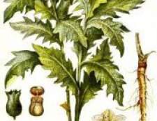 Отруйна рослина блекота чорна
