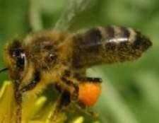 Як приймати, зберігати квітковий пилок, чим вона корисна?