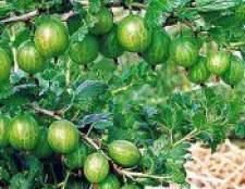 Як вирощувати і доглядати за агрусом