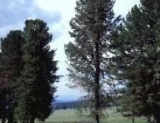 Кедр сибірський - застосування, фото, опис, де росте