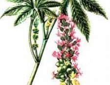 Рицина звичайна - застосування в домашніх умовах