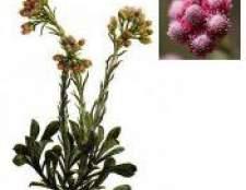Котяча лапка - рослина сухоцвіт
