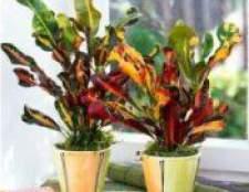 Кротон квітка: догляд в домашніх умовах