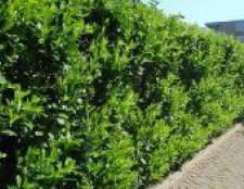 Лавровишня (догляд і вирощування)