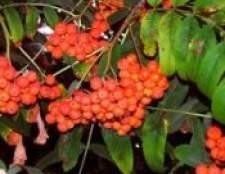 Лікування горобиною червоною звичайної корою і ягодами