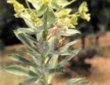 Лікарська рослина молочай сегіеров