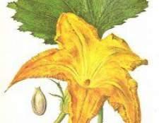 Лікарська рослина гарбуз