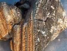 Модринові губки гриби агарікус, лікувальну властивість