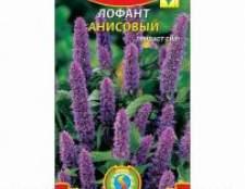Лофант анісовий: вирощування, користь і шкода