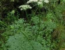 Морквяник трава: фото, опис, примение