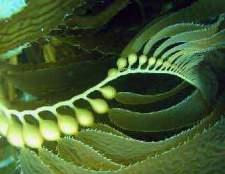 Морська капуста