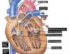 Нормальне функціонування серця людини