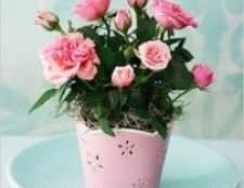 Про вирощування кімнатної рослини троянди