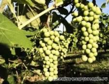 Про агротехніці вирощування винограду