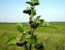 Паслін чорний - рослина лікарська, рецепти, фото