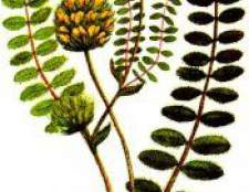 Рослина астрагал шерстистоквітковий