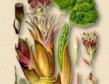Рослина белокопитнік гібридний