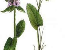 Рослина буквиця - лікарська трава