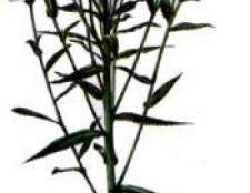 Рослина чіхотная трава