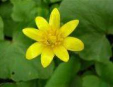 Рослина чистяк весняний