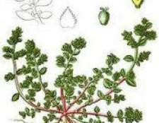 Рослина грижнік гладкий