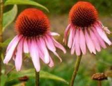 Рослина ехінацея пурпурова