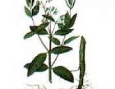 Рослина кендирь конопльова