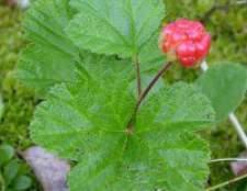 Рослина морошка - властивості, застосування, протипоказання, фото