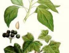 Рослина плющ - опис, фото, корисні властивості, протипоказання