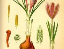 Рослина шафран посівний