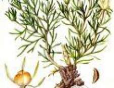 Рослина степова рута - лікувальна трава