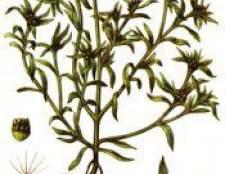 Рослина сухоцвіт болотна