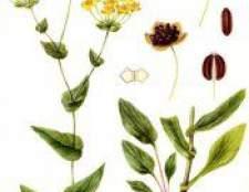 Рослина володушка золотиста