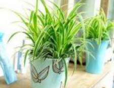 Найкорисніше кімнатна рослина хлорофітум чубатий