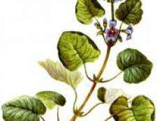 Трава будра плющевидная - фото, опис