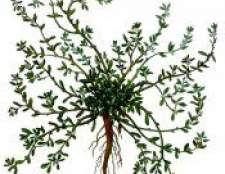 Трава горець пташиний (спориш) - фото, опис, протипоказання